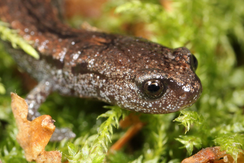 California Slender Salamander Endangered Species
