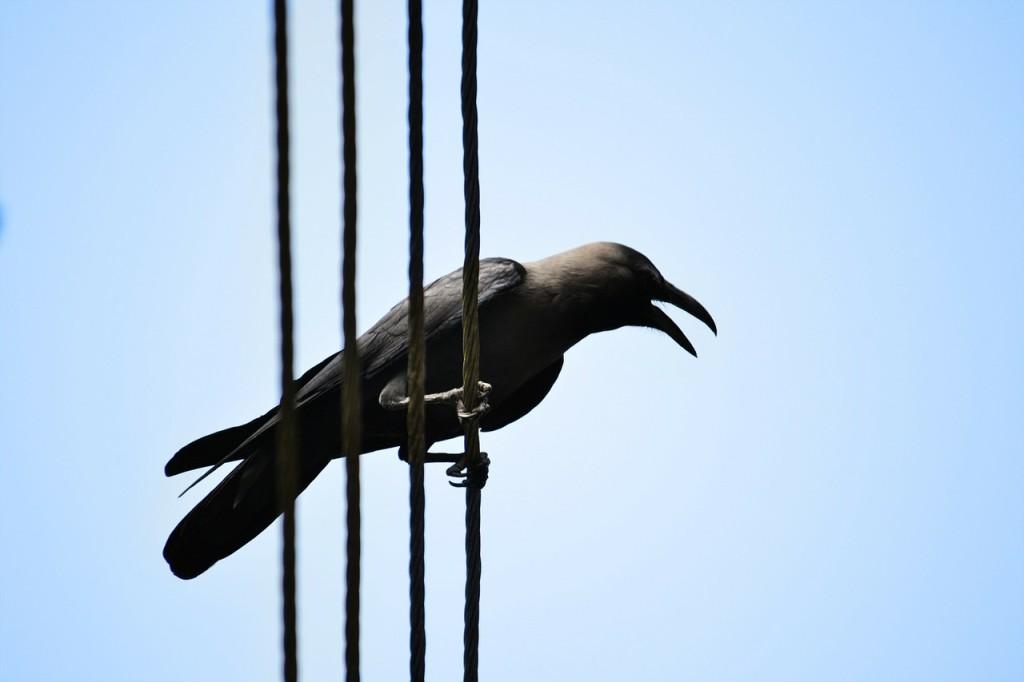 Crow Animal