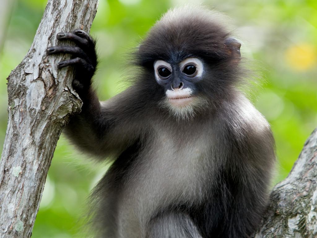 Dusky Leaf Monkey Animal Rights