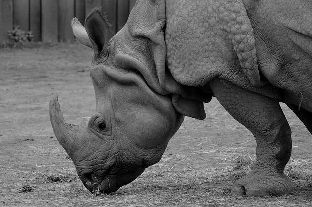 Endangered Rhinos Rhinoceros