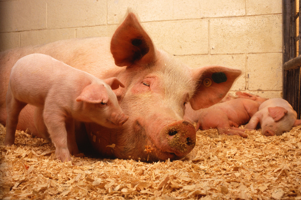 Piglets and Mom Veganism