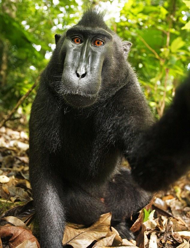 Macaca Nigra Self Portrait Monkey Selfie