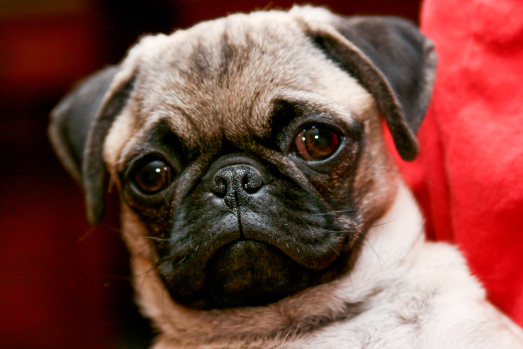 Pure Bred Pug Animal Rights
