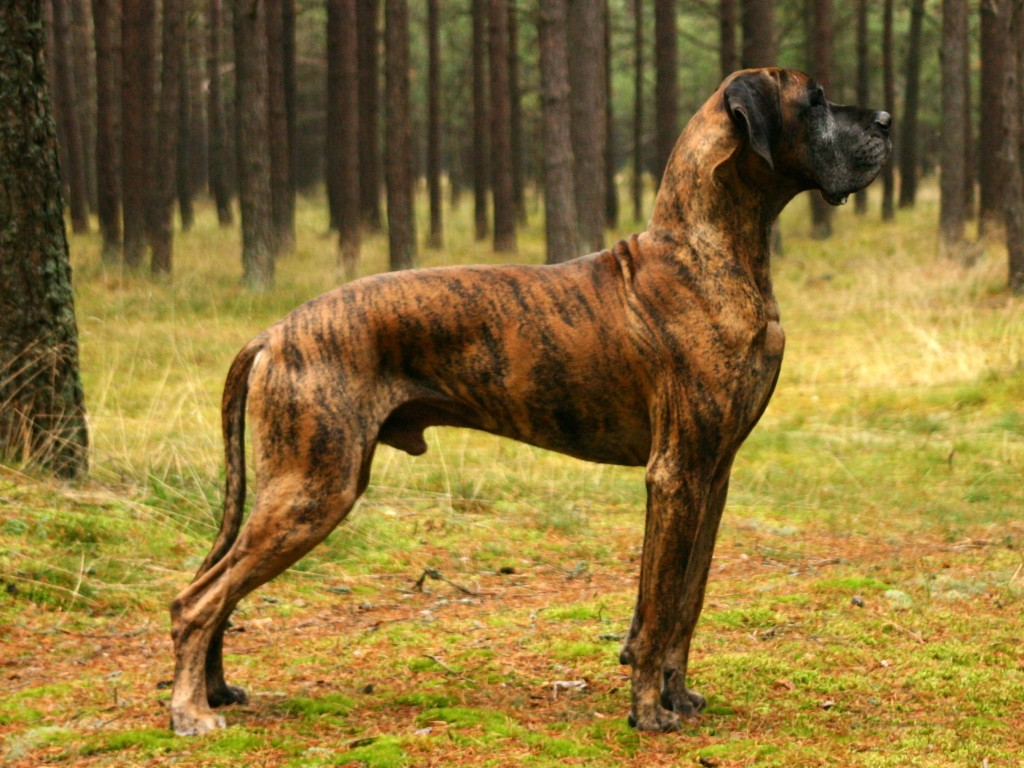 Pure Breed Great Dane