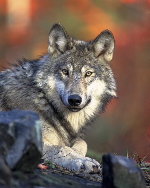 Wolf History of Dogs